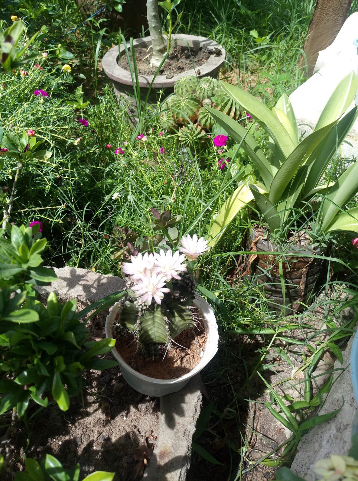Cư dân mạng khoe trồng xương rồng ra hoa rực rỡ xem ai mát tay hơn - Ảnh 2.