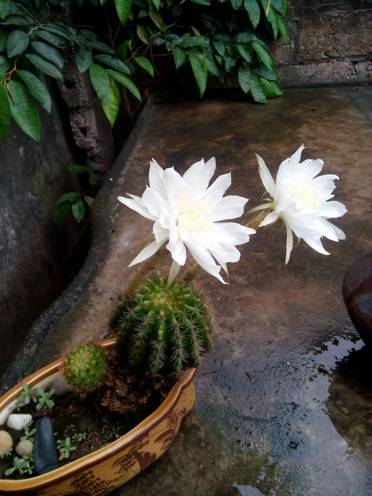 Cư dân mạng khoe trồng xương rồng ra hoa rực rỡ xem ai mát tay hơn - Ảnh 3.