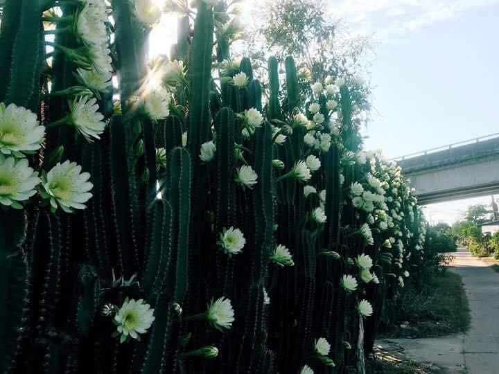 Cư dân mạng phát sốt với hàng rào xương rồng nở đầy hoa trắng, làm mát rượi một con đường ở Sóc Trăng - Ảnh 1.