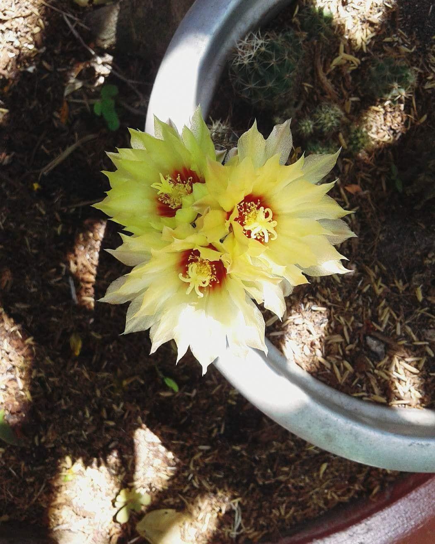 Cư dân mạng khoe trồng xương rồng ra hoa rực rỡ xem ai mát tay hơn - Ảnh 8.