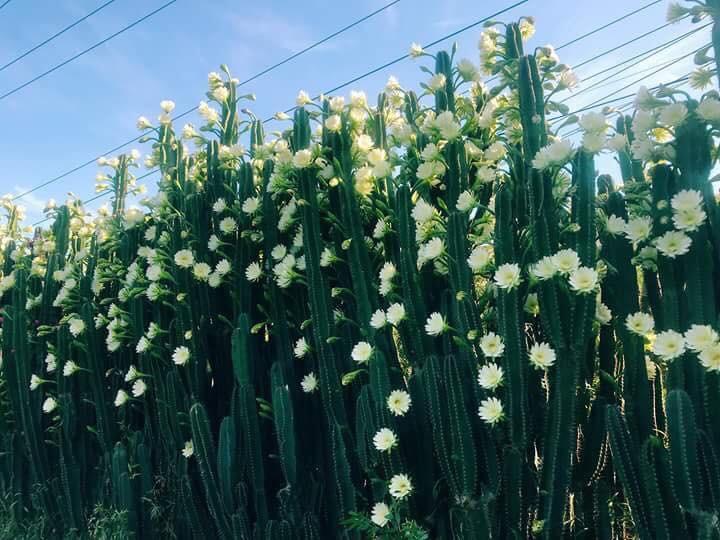 Cư dân mạng phát sốt với hàng rào xương rồng nở đầy hoa trắng, làm mát rượi một con đường ở Sóc Trăng - Ảnh 5.