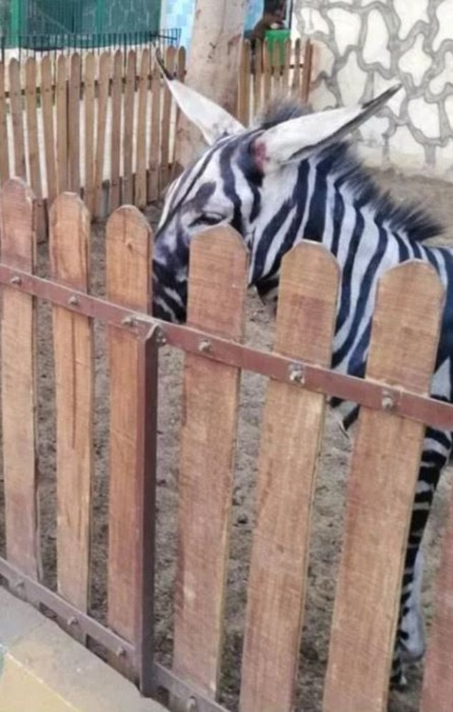 Thanh niên háo hức vào vườn thú xem ngựa vằn ai ngờ phát hiện cả chuồng toàn là lừa cải trang - Ảnh 2.