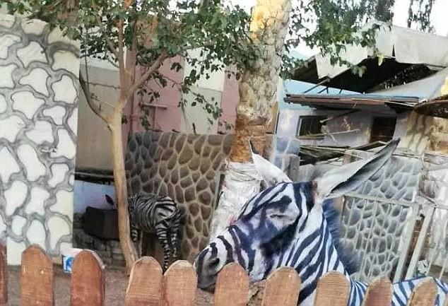 Thanh niên háo hức vào vườn thú xem ngựa vằn ai ngờ phát hiện cả chuồng toàn là lừa cải trang - Ảnh 3.