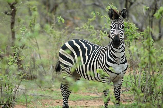 Thanh niên háo hức vào vườn thú xem ngựa vằn ai ngờ phát hiện cả chuồng toàn là lừa cải trang - Ảnh 4.