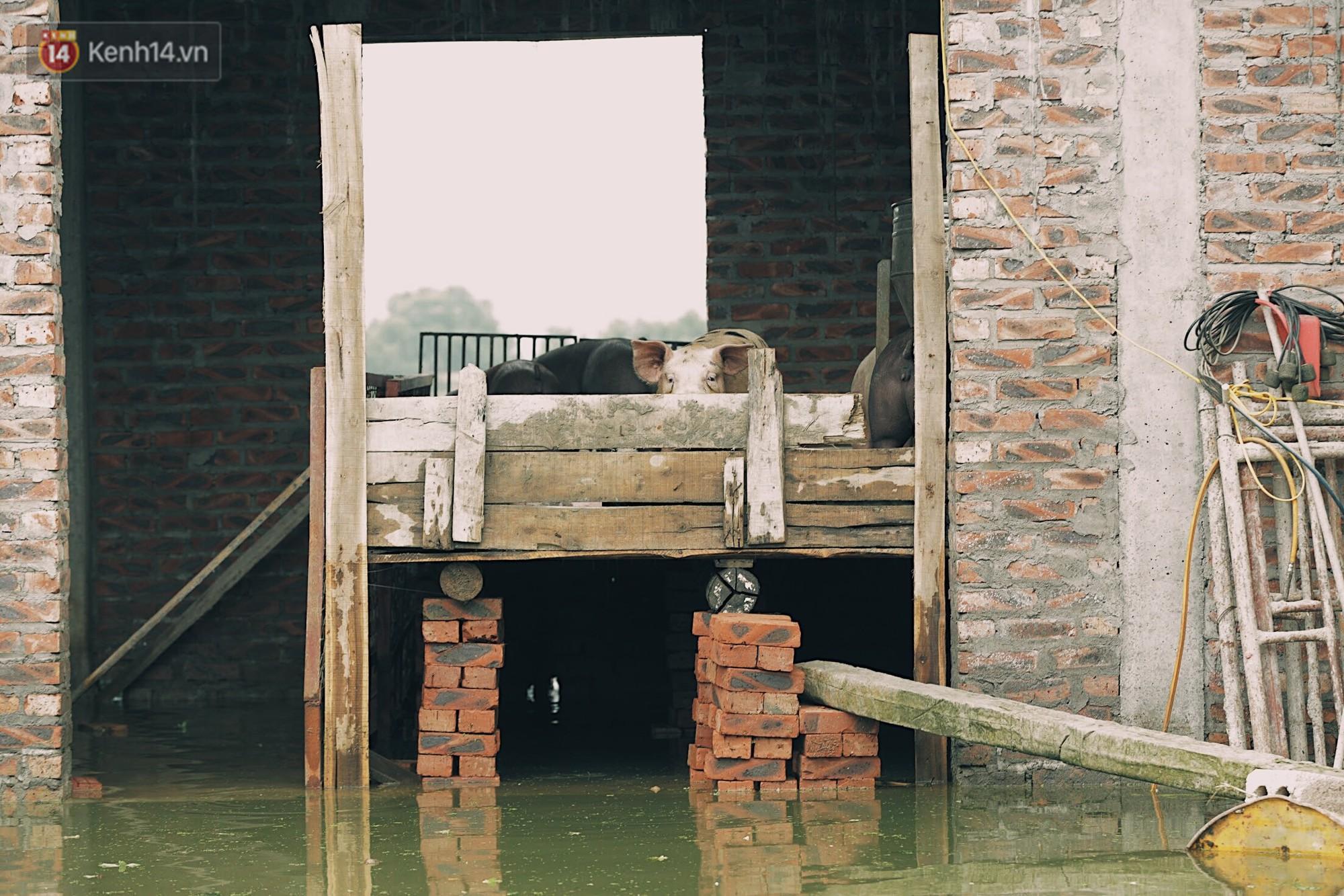 Những ngày lênh đênh ở Chương Mỹ: Trâu bò lặn ngụp, vịt trèo lên những mái nhà khi nước dâng đến tận nóc - Ảnh 13.