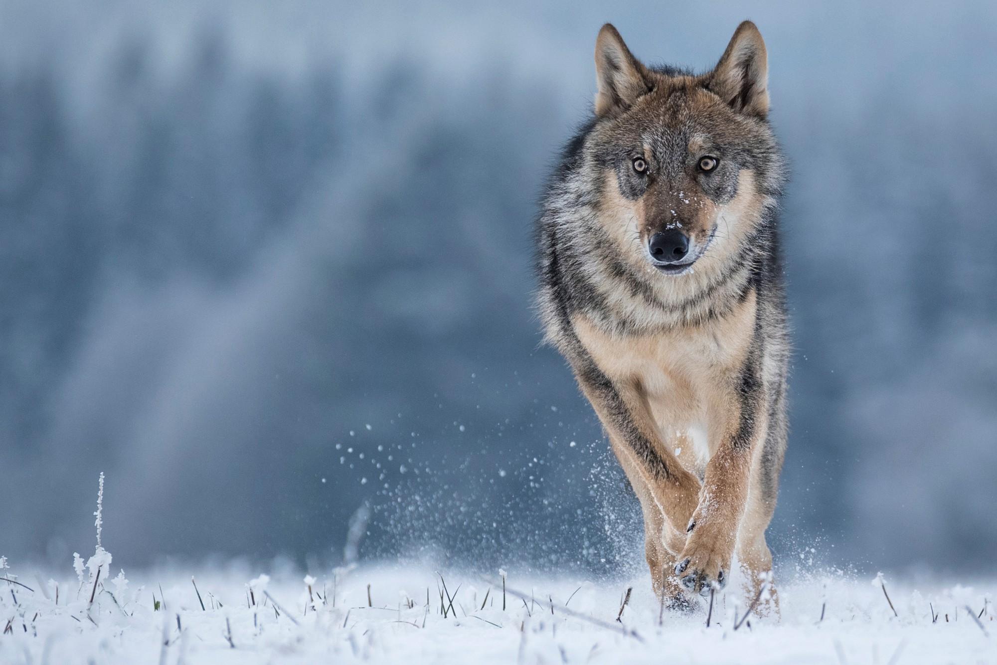 Con sói đầu tiên trong lịch sử rời khỏi Chernobyl, giới khoa học đang phải bám rất sát - Ảnh 2.