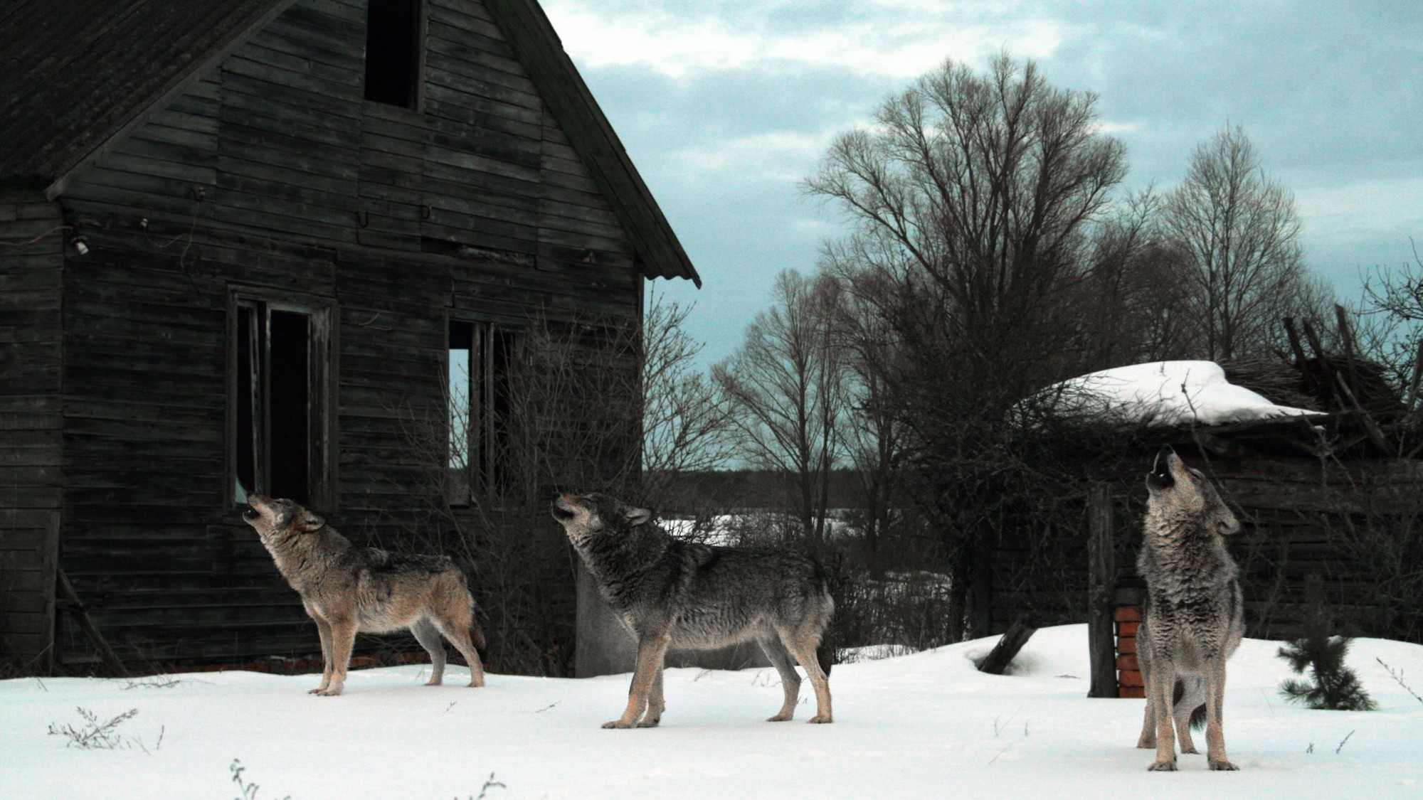 Con sói đầu tiên trong lịch sử rời khỏi Chernobyl, giới khoa học đang phải bám rất sát - Ảnh 3.