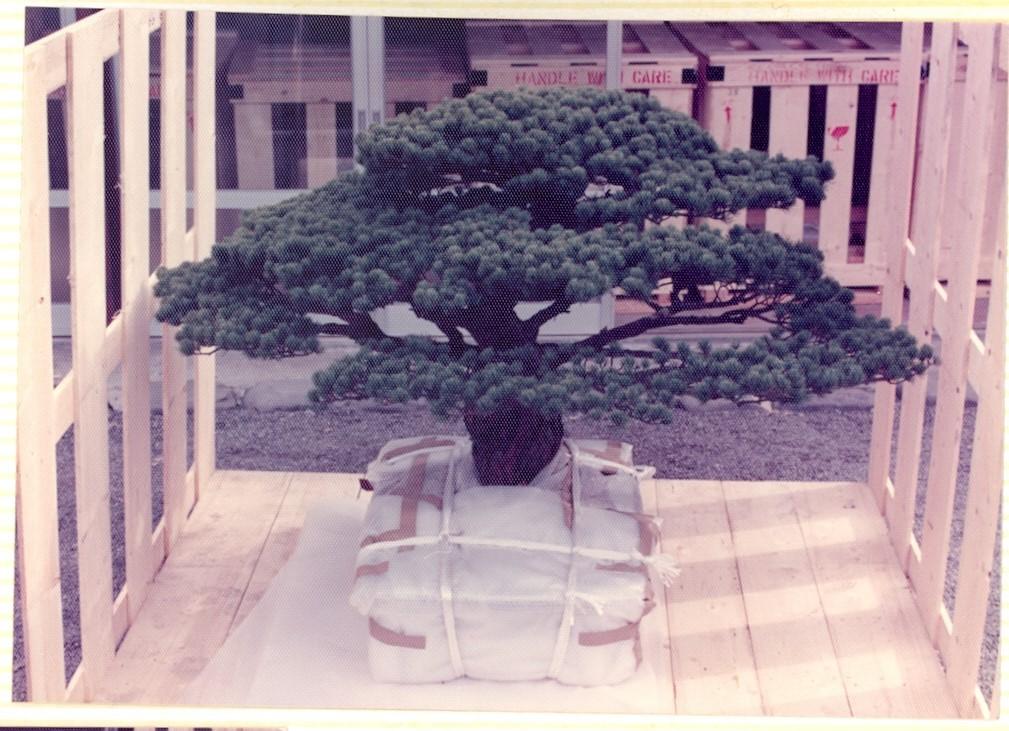 Cây bonsai Nhật Bản 400 tuổi: Nhân chứng lịch sử thảm họa Hiroshima với sức sống mãnh liệt, bom nguyên tử cũng không thể quật ngã - Ảnh 3.