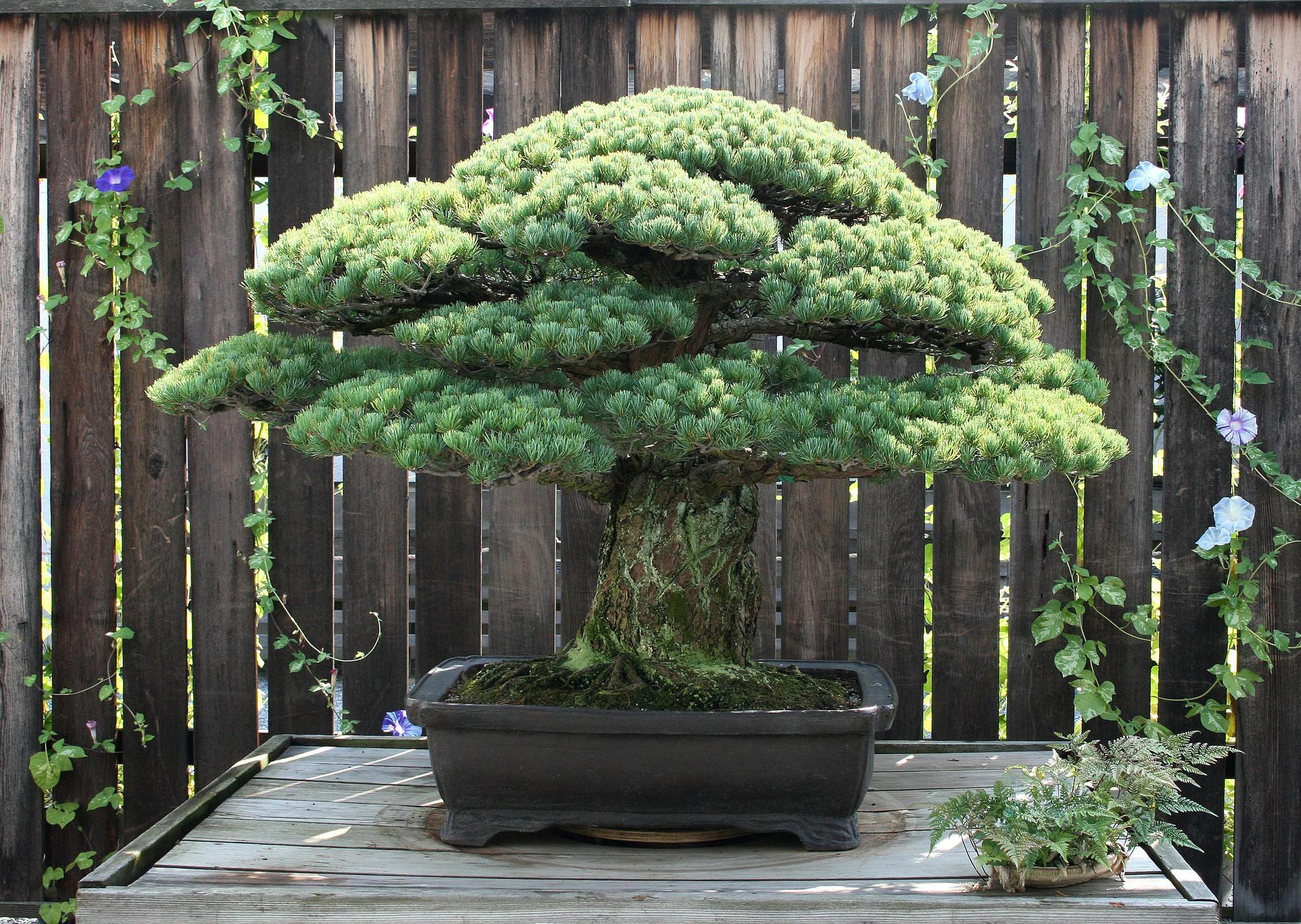 Cây bonsai Nhật Bản 400 tuổi: Nhân chứng lịch sử thảm họa Hiroshima với sức sống mãnh liệt, bom nguyên tử cũng không thể quật ngã - Ảnh 2.