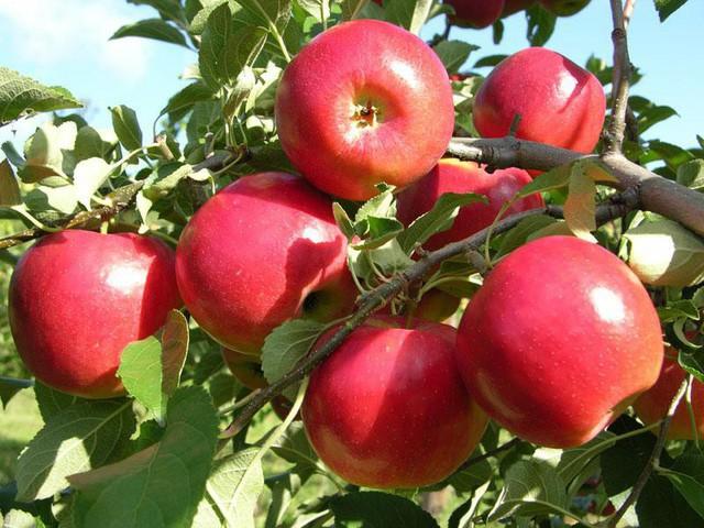 Táo là loại trái cây vàng cho sức khỏe nhưng 100% chúng ta đều mắc sai lầm này khi ăn - Ảnh 2.