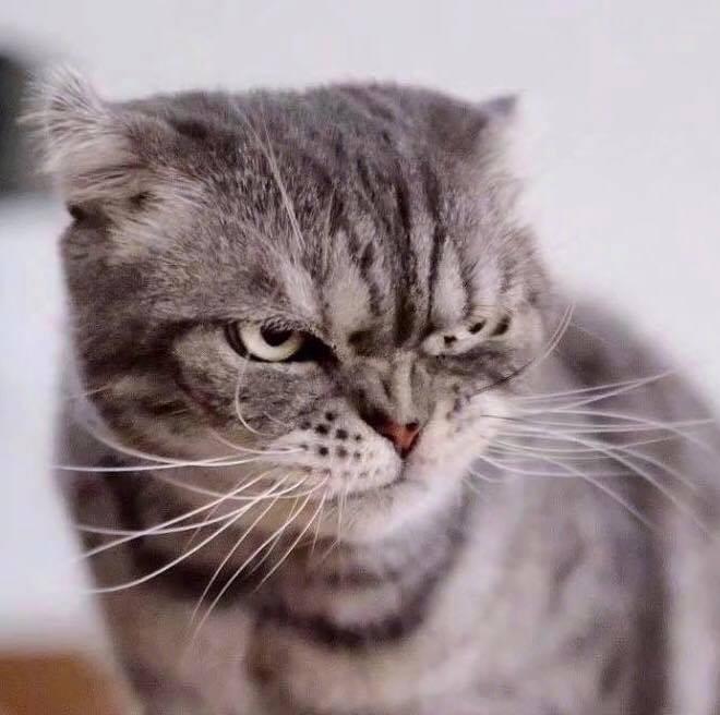 Boss mèo bỗng nổi tiếng MXH vì gương mặt cau có khó ở chẳng ai bằng - Ảnh 2.