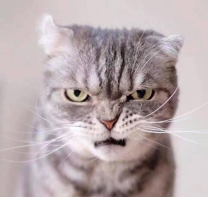 Boss mèo bỗng nổi tiếng MXH vì gương mặt cau có khó ở chẳng ai bằng - Ảnh 7.