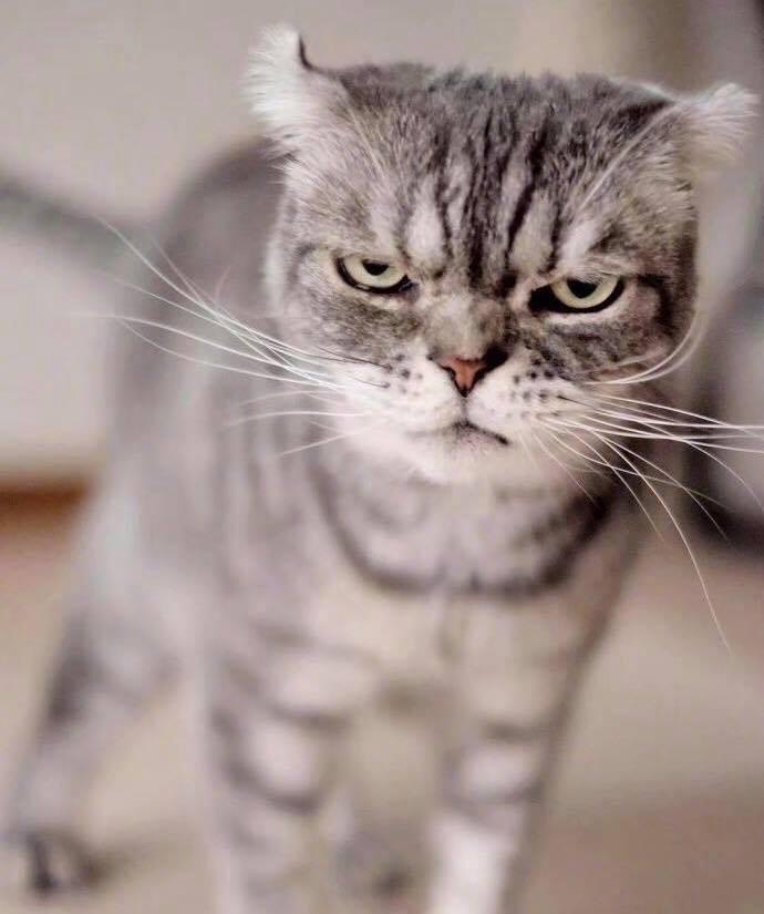 Boss mèo bỗng nổi tiếng MXH vì gương mặt cau có khó ở chẳng ai bằng - Ảnh 9.