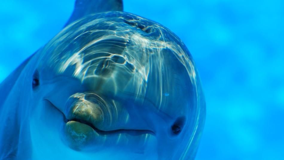 Chuyện éo le của cá heo Zafar: Dậy thì bị rạo rực bèn đi quấy rối du khách, cả bãi biển phải sơ tán gấp - Ảnh 1.
