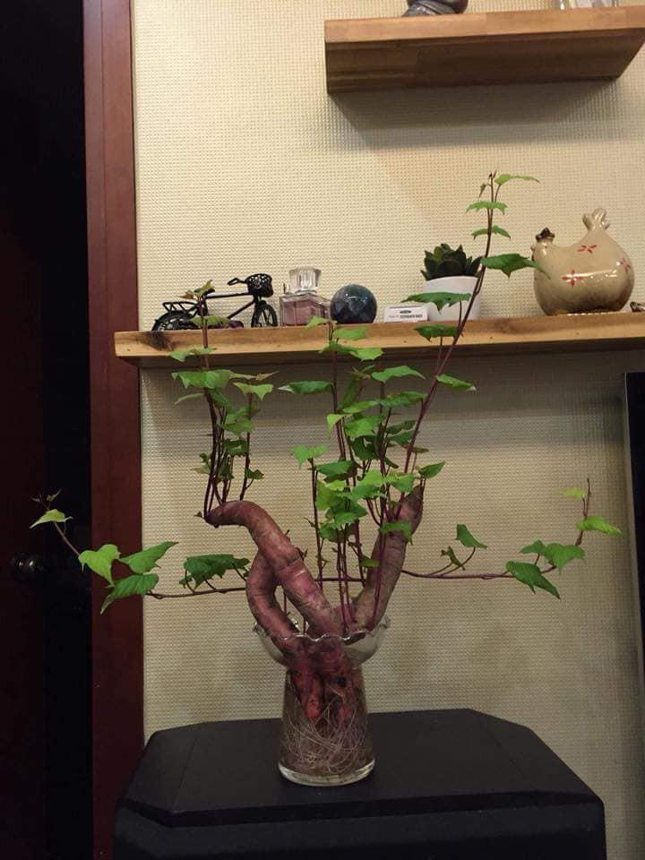 Khi bạn đam mê bonsai nhưng kinh tế và thời gian eo hẹp thì trồng khoai là lựa chọn không tồi - Ảnh 2.