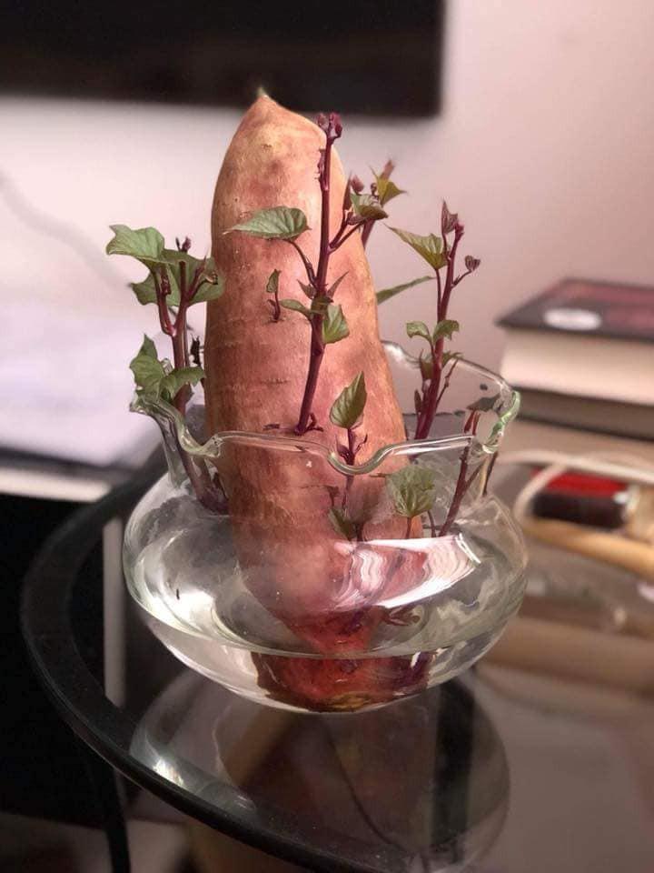 Khi bạn đam mê bonsai nhưng kinh tế và thời gian eo hẹp thì trồng khoai là lựa chọn không tồi - Ảnh 1.