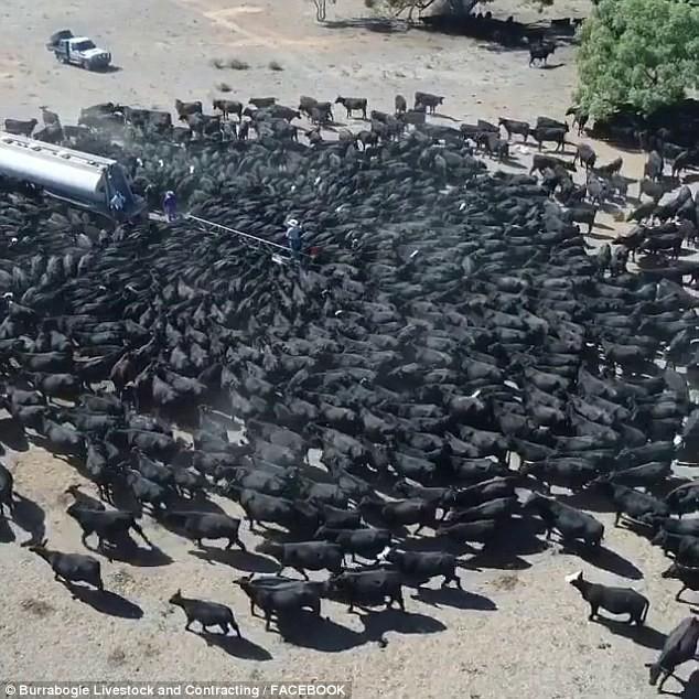 Úc: Khát khô cổ, hàng trăm con bò bủa vây xe tải chở nước trong đợt hạn hán khủng khiếp - Ảnh 2.