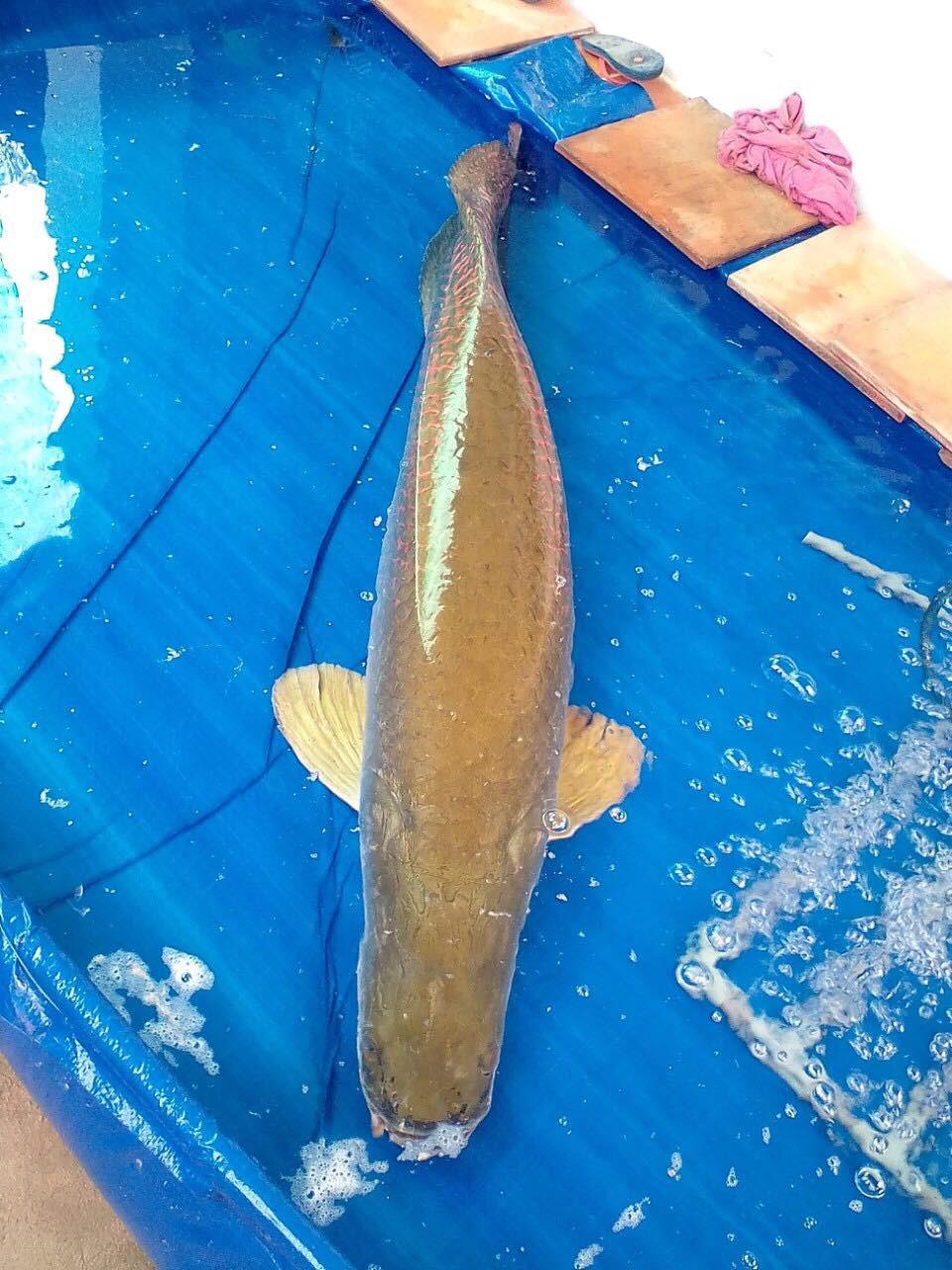 """Được trả 22 triệu đồng không bán, ngư dân Tây Ninh mang cá """"khủng"""" nặng 30kg xẻ thịt bán rẻ bèo - Ảnh 2."""