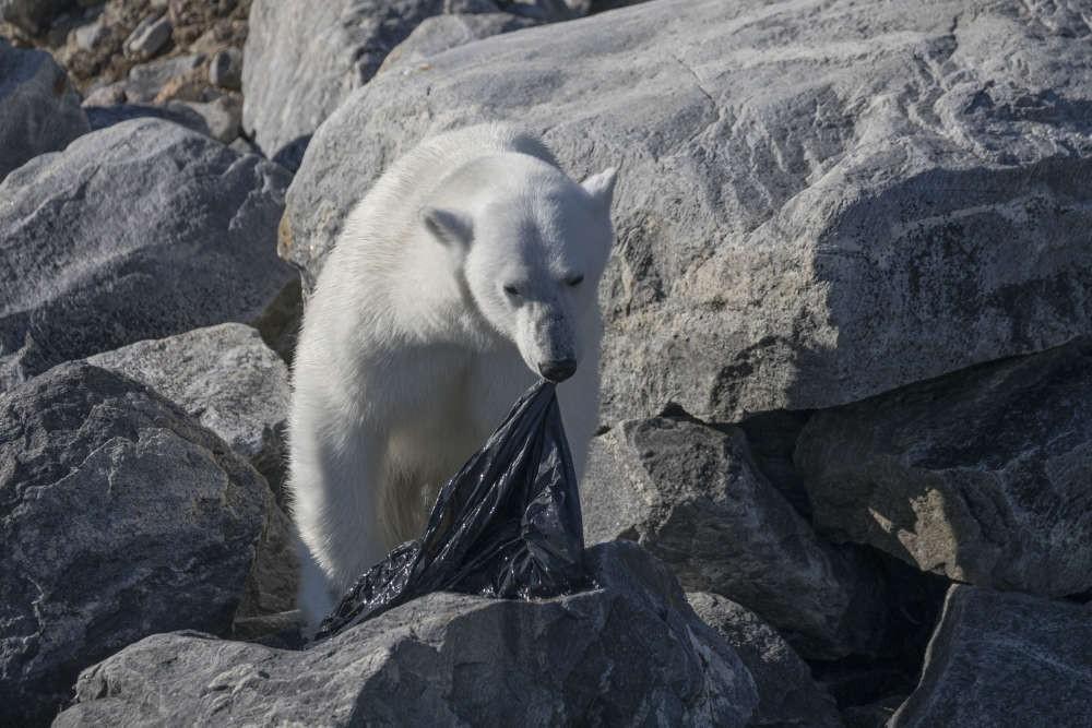 Trong vòng 1 tuần: Gấu trắng ăn nylon, rùa biển cực hiếm chết kẹt trong ghế sắt và những bức hình gây ám ảnh từ rác thải của con người - Ảnh 2.
