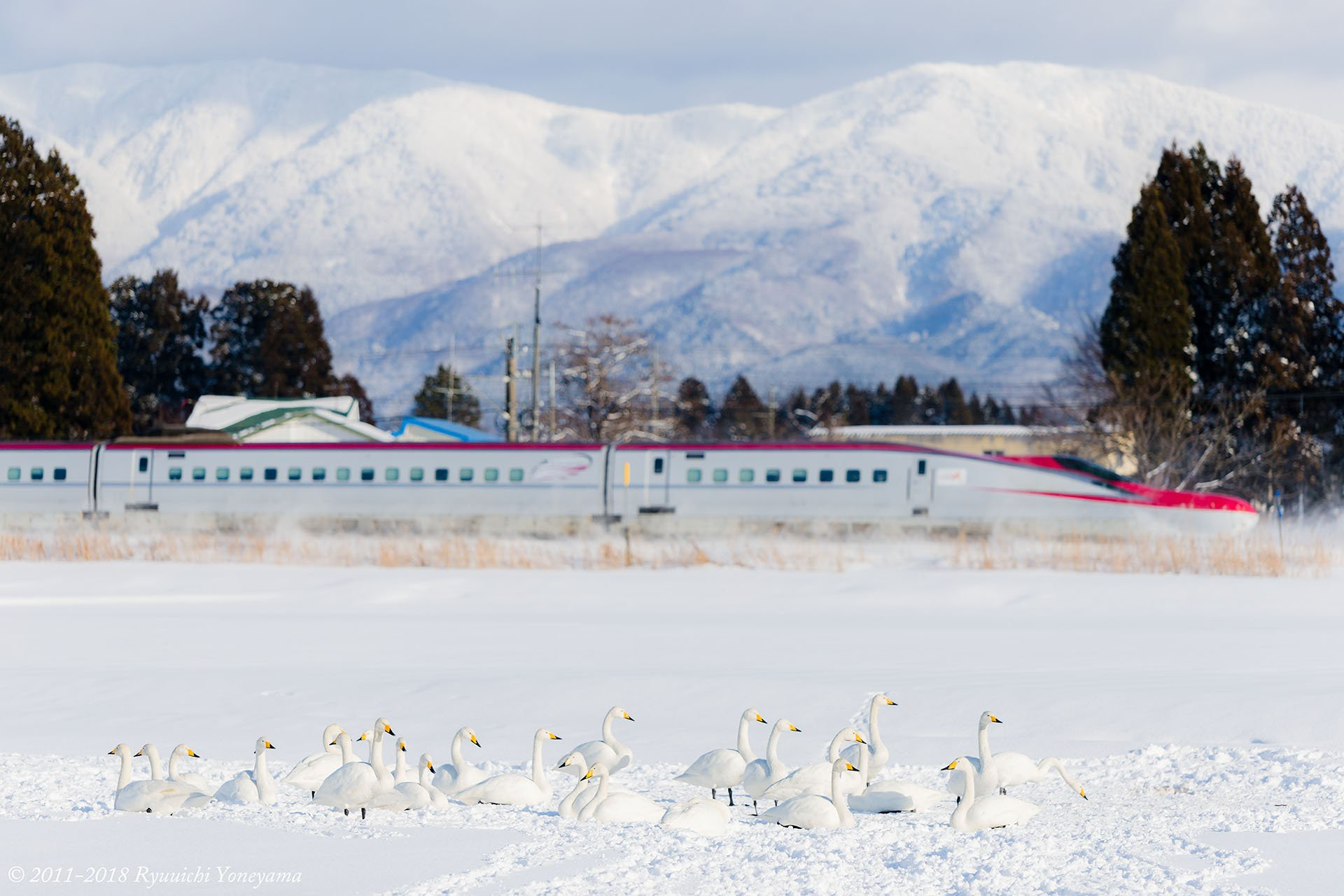 Người dân Nhật ngỡ ngàng chiêm ngưỡng những bông hoa anh đào băng tuyết trong thời tiết lạnh giá kéo dài - Ảnh 16.