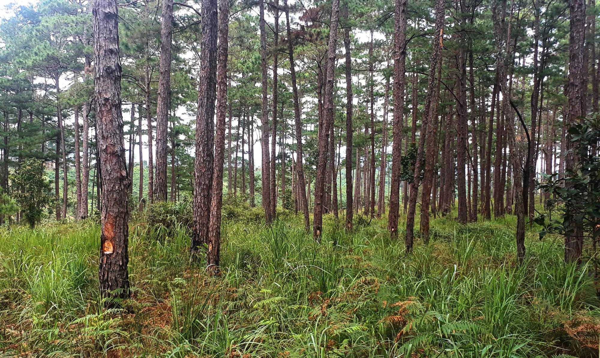Lâm Đồng: Hơn 70 cây thông 3 lá tự nhiên bị ken gốc đổ hóa chất - Ảnh 1.