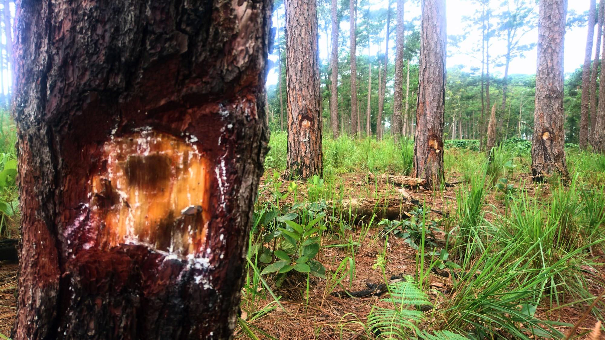 Lâm Đồng: Hơn 70 cây thông 3 lá tự nhiên bị ken gốc đổ hóa chất - Ảnh 4.