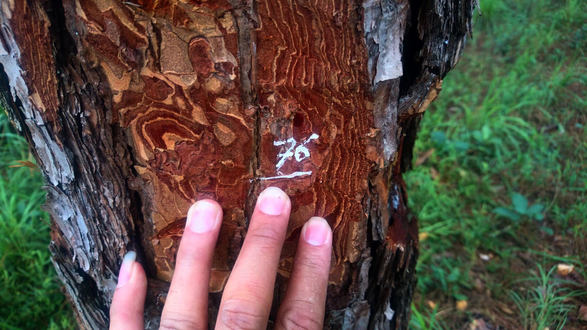 Lâm Đồng: Hơn 70 cây thông 3 lá tự nhiên bị ken gốc đổ hóa chất - Ảnh 3.