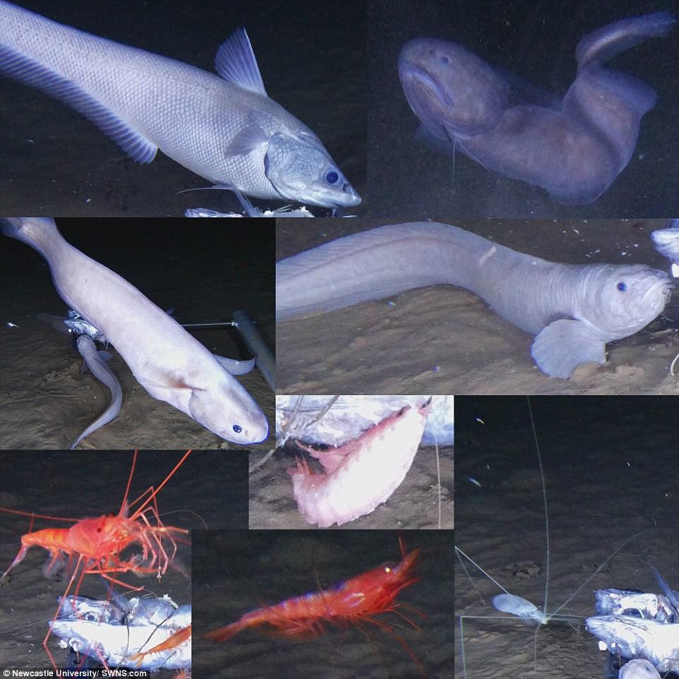 Tìm ra 3 loài cá ma lẩn khuất ở một trong những nơi sâu nhất đại dương - Ảnh 3.