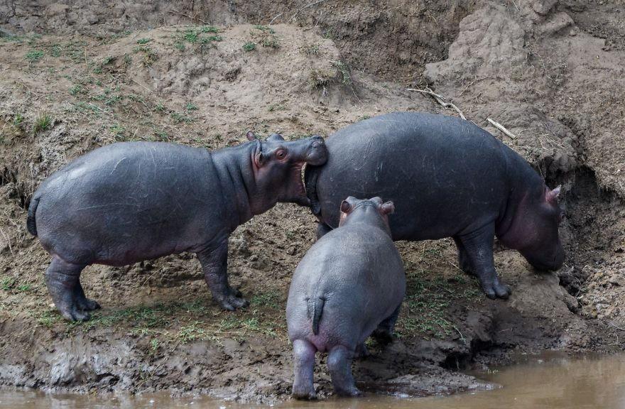 """Cười ra nước mắt với loạt khoảnh khắc khó đỡ của thế giới động vật trong cuộc thi """"Thiên nhiên hài hước 2018"""" - Ảnh 13."""
