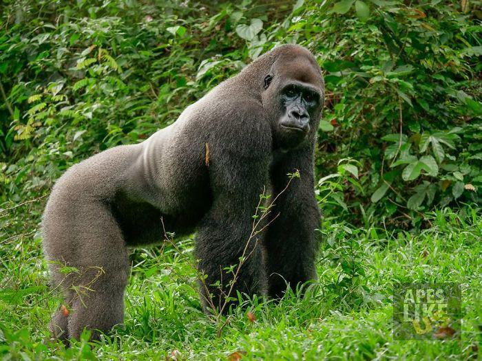 Tan chảy với tình bạn kì lạ nơi hoang dã của chú Gorilla khổng lồ và người bạn tí hon - Ảnh 1.
