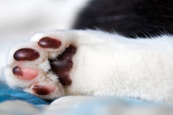 7 sự thật khiến bạn ngã ngửa về đôi chân ngọc ngà của các boss mèo - Ảnh 6.