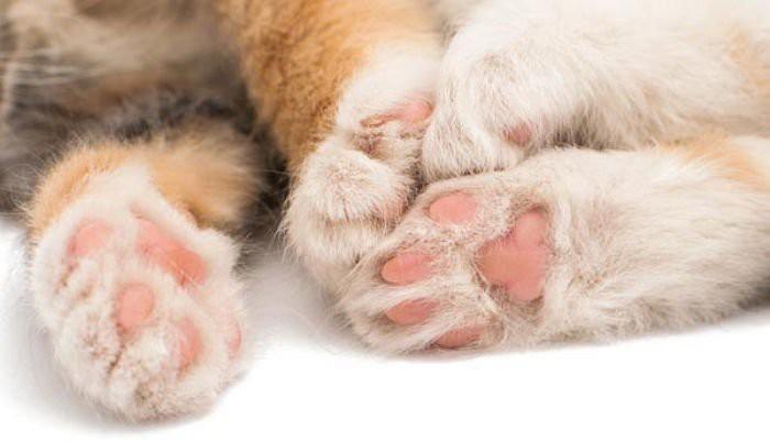 7 sự thật khiến bạn ngã ngửa về đôi chân ngọc ngà của các boss mèo - Ảnh 2.