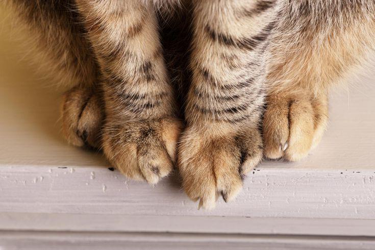 7 sự thật khiến bạn ngã ngửa về đôi chân ngọc ngà của các boss mèo - Ảnh 4.