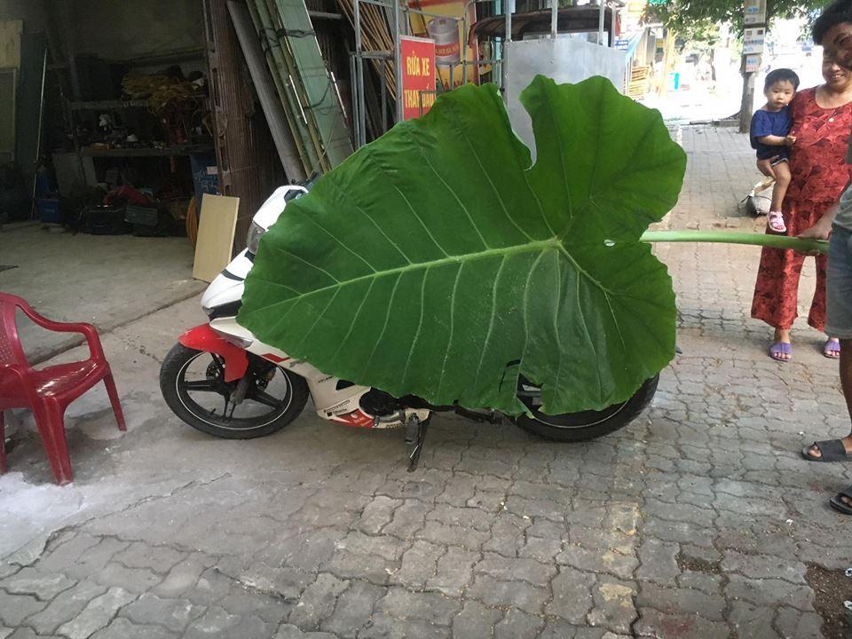 Nam Định: Phát hiện cây dọc mùng khổng lồ cao chạm trần nhà, lá che kín cả một chiếc Exciter - Ảnh 3.