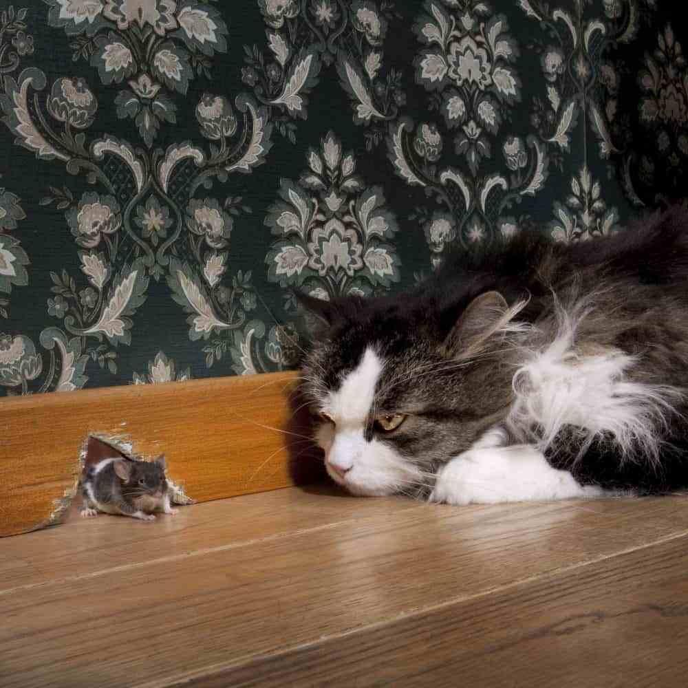 Hóa ra không phải cứ nuôi mèo là bớt chuột - nghịch lý này đã được khoa học chứng minh hẳn hoi - Ảnh 3.