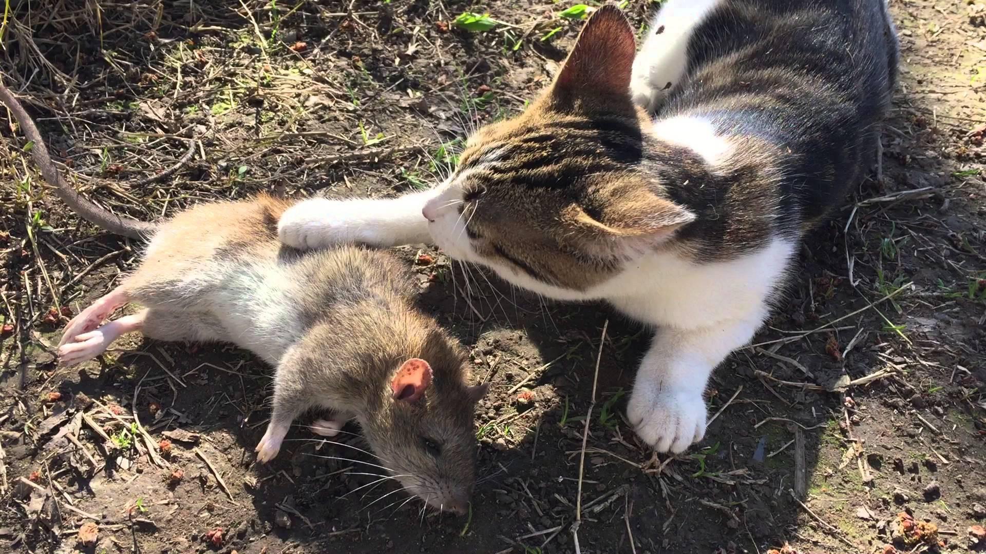 Hóa ra không phải cứ nuôi mèo là bớt chuột - nghịch lý này đã được khoa học chứng minh hẳn hoi - Ảnh 2.