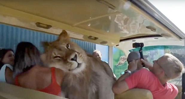 Sư tử nhảy chồm lên xe âu yếm dụi đầu liếm mặt du khách - Ảnh 1.