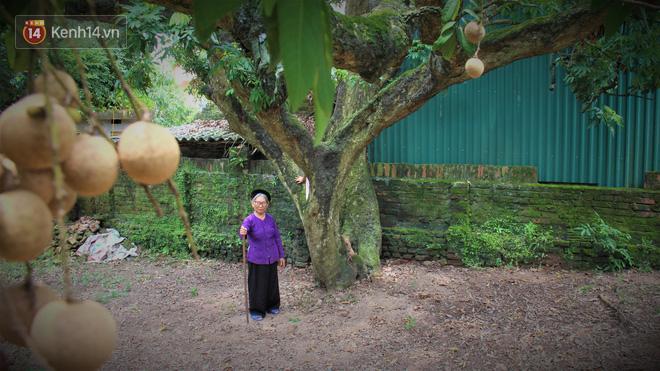 Hà Nội: Cận cảnh cây nhãn tổ khổng lồ 130 tuổi, mỗi năm thu hoạch gần một tấn quả 4