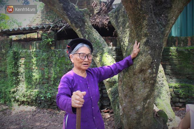 Hà Nội: Cận cảnh cây nhãn tổ khổng lồ 130 tuổi, mỗi năm thu hoạch gần một tấn quả 11