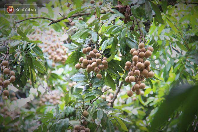 Hà Nội: Cận cảnh cây nhãn tổ khổng lồ 130 tuổi, mỗi năm thu hoạch gần một tấn quả 7