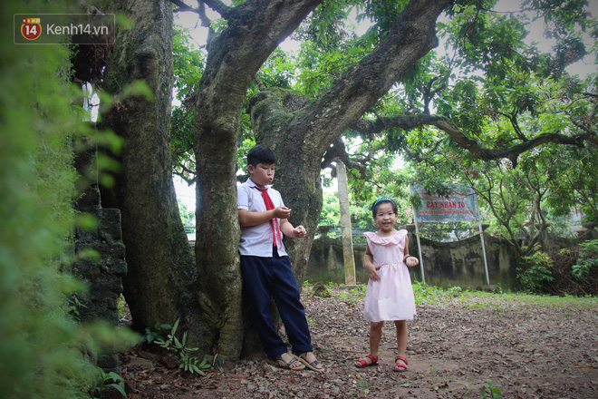 Hà Nội: Cận cảnh cây nhãn tổ khổng lồ 130 tuổi, mỗi năm thu hoạch gần một tấn quả 12