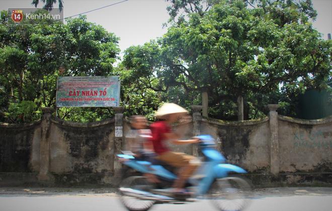 Hà Nội: Cận cảnh cây nhãn tổ khổng lồ 130 tuổi, mỗi năm thu hoạch gần một tấn quả 1