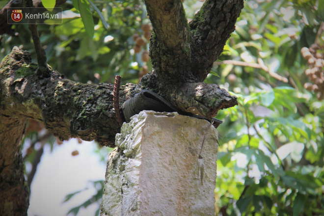 Hà Nội: Cận cảnh cây nhãn tổ khổng lồ 130 tuổi, mỗi năm thu hoạch gần một tấn quả 6