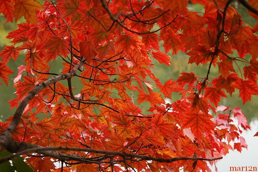 """Cây phong lá đỏ """"hot hit"""" mấy ngày nay nhưng bạn có thực sự biết về loại cây này? - Ảnh 2."""