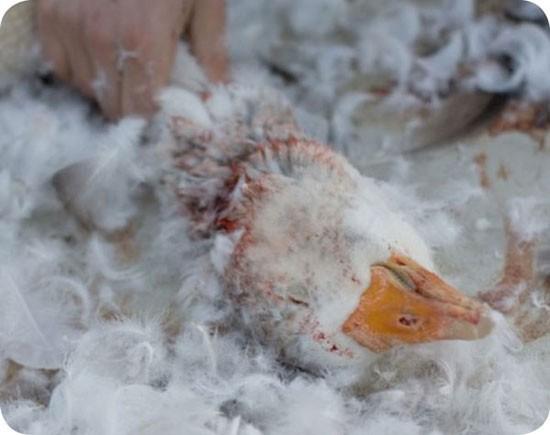 Sự thật tăm tối đằng sau những chiếc áo lông vũ ấm áp mùa đông - Ảnh 3.