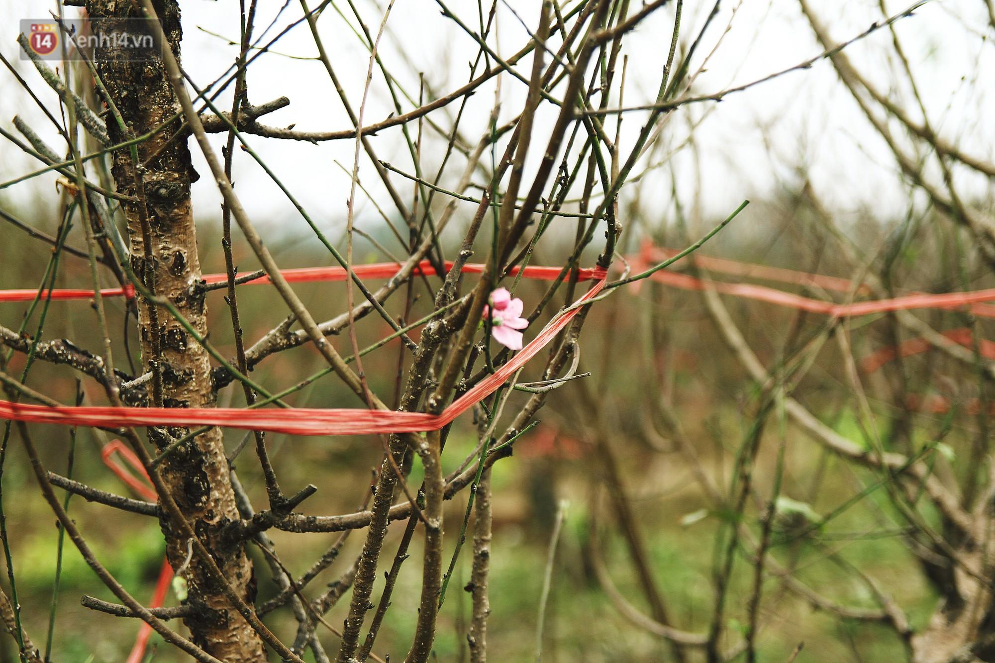Người dân làng đào Nhật Tân: Từ giờ đến Tết mà rét thế này thì đào không nở hoa kịp mất! - Ảnh 1.