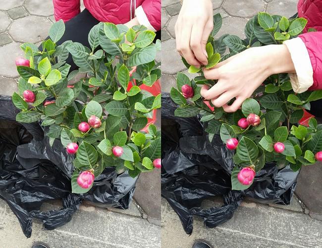 Hà Nội: Thanh niên mua cây sung đẹp đón tết, nào ngờ mua nhầm cây fake toàn keo con voi - Ảnh 4.