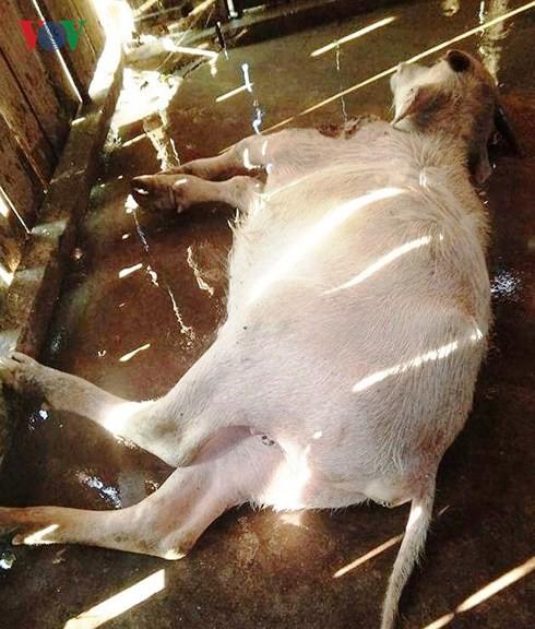 Hơn 30 con gia súc bị chết rét ở vùng cao Yên Bái - Ảnh 1.