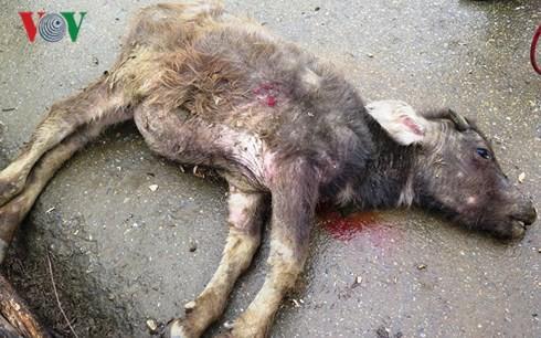 Số gia súc bị chết rét ở Yên Bái tăng lên gần 100 con - Ảnh 1.
