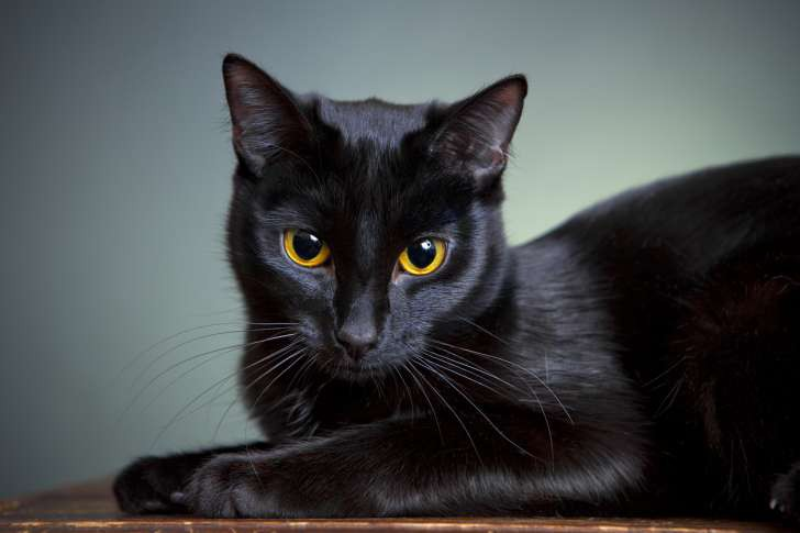 mèo đen có thực mang đến vận đen? hãy đọc bài này để thấy yên tâm hơn